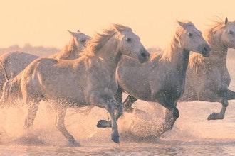 Panoramica Cavalli del Camargue. Francia - Europa