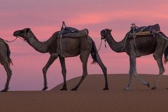 cammelli nel deserto, Erfoud e Merzouga - Marocco